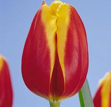 Тюльпан DOW JONES (Триумф)