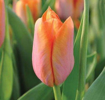 Тюльпан DYNASTY ORANGE (Триумф)