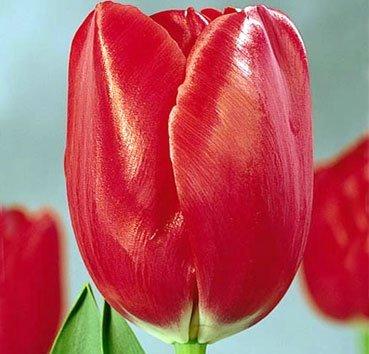 Тюльпан FRISO (Триумф)
