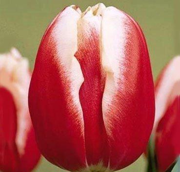 Тюльпан FURAND (Триумф)