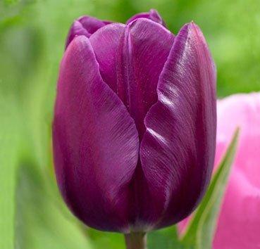 Тюльпан NEGRITA (Триумф)