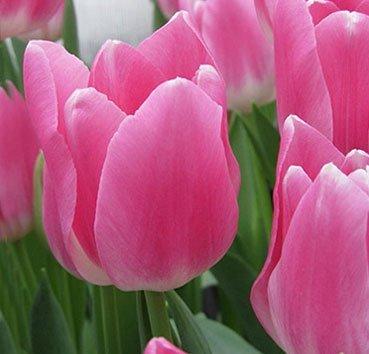 Тюльпан ROYAL TEN (Триумф)