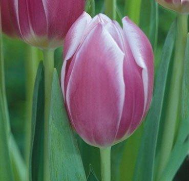 Тюльпан SYNAEDA BLUE (Триумф)