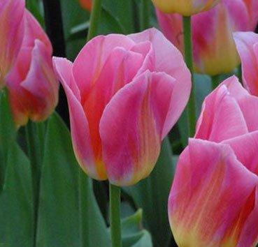 Тюльпан TOM POUCE (Триумф)