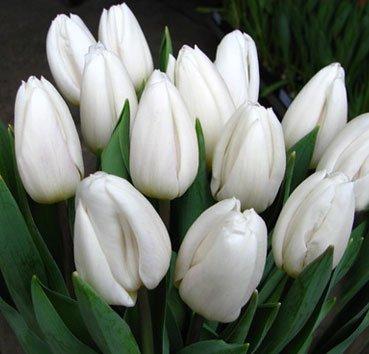 Тюльпан WHITE FLAG (Триумф)