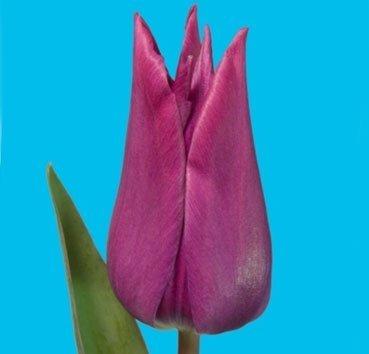 Тюльпан ASWAN (Лилиецветные)