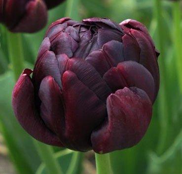 Тюльпан BLACK HERO (Махровые)