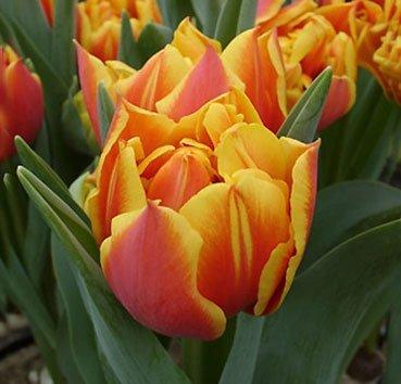 Тюльпан CROSSFIRE (Махровые)