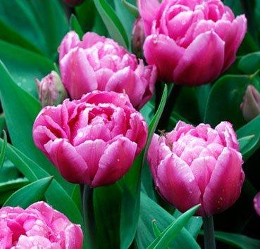 Тюльпан DIOR (Махровые)
