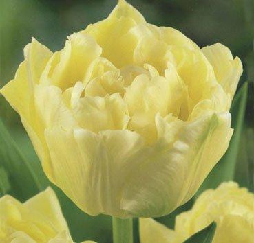 Тюльпан VERONA (Махровые)