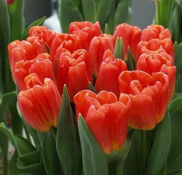 Тюльпан SWITCH (Триумф)