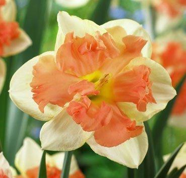 Нарцисс Vanilla peach