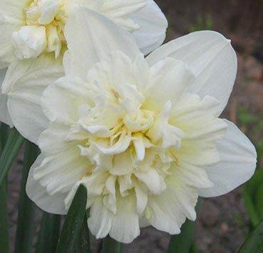 Нарцисс White favourite