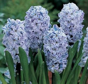 Гиацинт Blue Giant