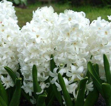 Гиацинт White Pearl