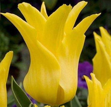 Тюльпан SEATTLE (Лилиецветные)