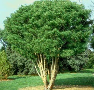 Сосна густоцветная Umbraculifera