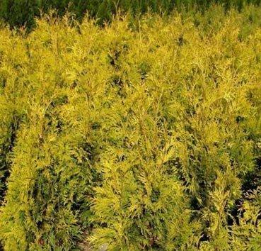 Туя западная Aurescens