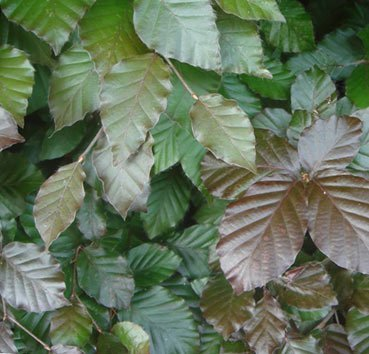 Бук лесной Atropunicea (Purpurea)