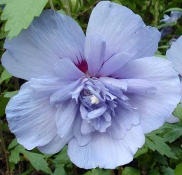 Гибискус сирийский Blue Chiffon
