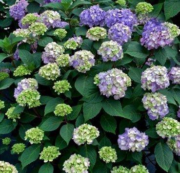 Гортензия крупноцветковая Bloom Star