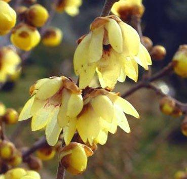 Зимоцвет ранний (Chimonanthus)