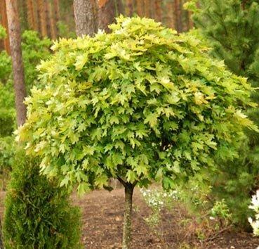 Клен остролистный Globosum Select