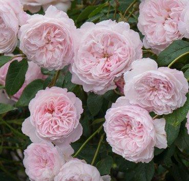 Роза английская The Albrighton Rambler