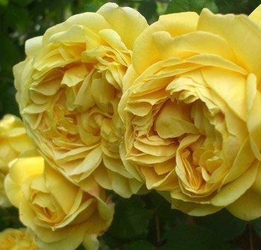 Роза английская Charles Darwin