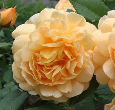 Роза английская Golden Celebration