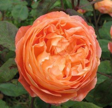 Роза английская Lady Emma Hamilton