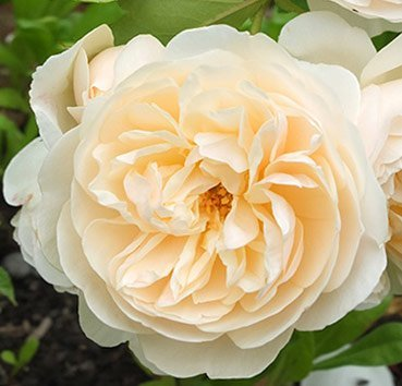 Роза английская Lichfield Angel