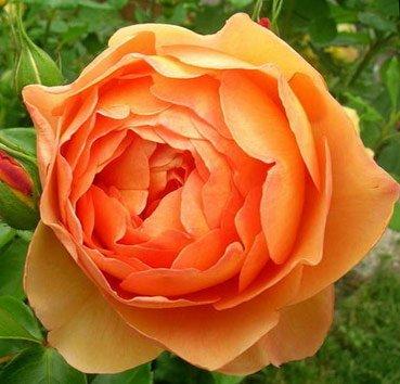Роза английская Pat Austin
