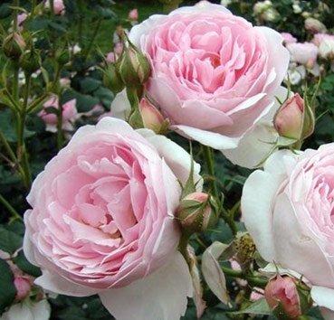 Роза английская Scepter'd Isle