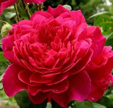 Роза английская Sophy's Rose