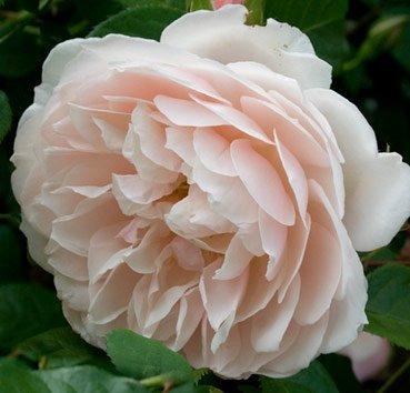 Роза английская The Generous Gardener