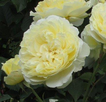 Роза английская The Pilgrim