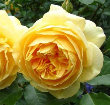 Роза английская Gracham Thomas CLG