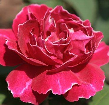 Роза английская Baron Girod D L'Ain