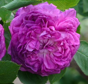 Роза английская Reine Des Violettes
