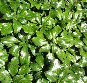 Пахисандра верхушечная Green Sheen