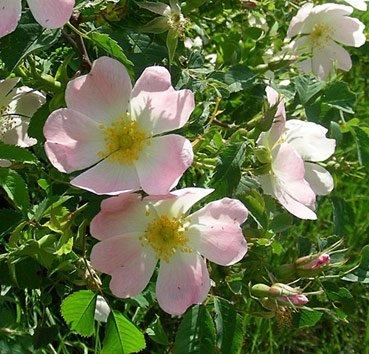 Роза собачья (шиповник обыкновенный)