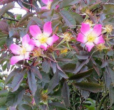 Роза сизая (glauca)