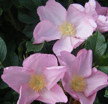 Роза морщинистая Dagmar Hastrup