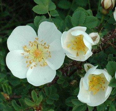 Роза (шиповник) pimpinellifolia