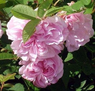 Роза дамасская Blush Damask