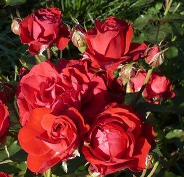 Роза флорибунда Nina Weibull