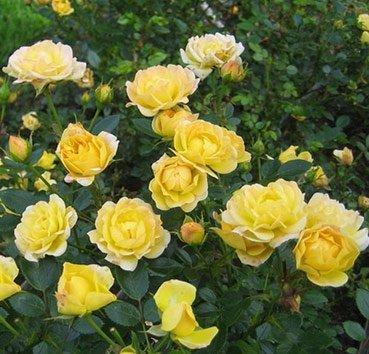 Почвопокровная роза Yellow Fairy (Golden Penny)