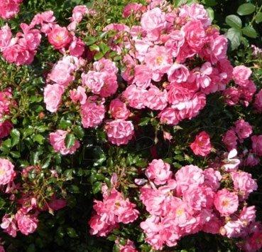 Роза бордюрная Neon
