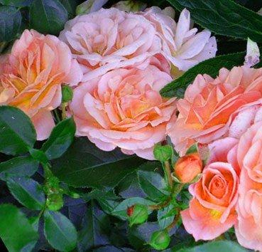 Роза бордюрная Aprikola